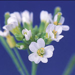 Arabidopsis thaliana, a model flowering plant studied by biologists, has climate-sensitive genes whose expression was found to evolve. Courtesy of Penn State